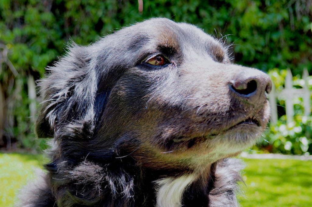 Side profile of a Belgian Sheepdog R.I.P. Champ