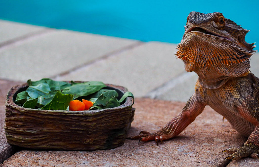 Bearded dragon lizard next to a bowl of vegetables in front of a pool