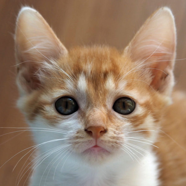 An orange kitten looking at the camera