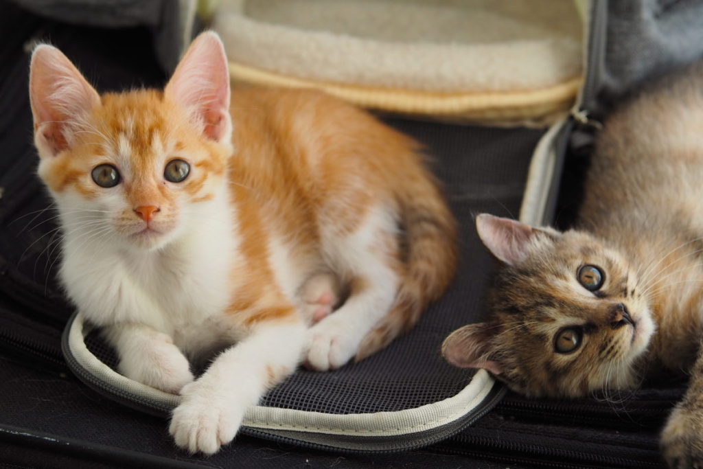 An Orange And Tabby Kitten Laying Down Looking At The Camera