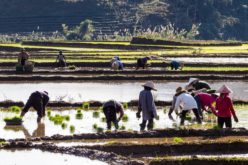 A group of rice farmers work in the rice paddies in ankle deep water